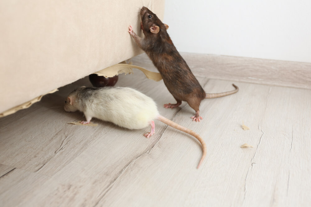 Does Your Homeowners' Insurance cover rodent Damage?